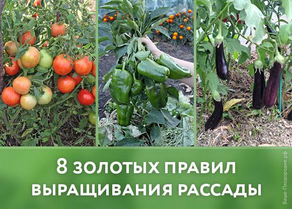 virashivanie-rassadi-tomatov