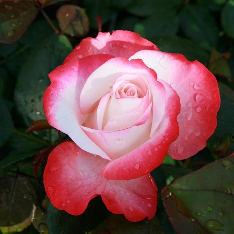 стрелковом марафоне ностальжи роза чайно гибридная фото описание макросъемки