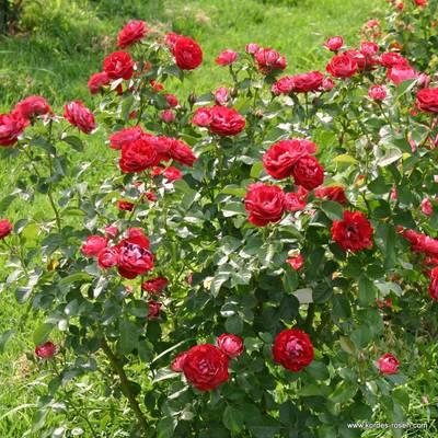 Rose der Einheit