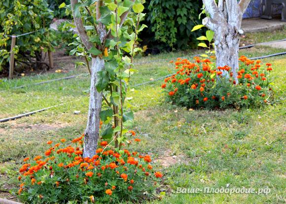 Можно ли сажать березу рядом с плодовыми деревьями 59