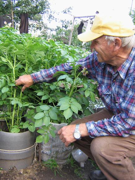 Приехали мы к Геннадию Петровичу Дунаеву в гости посмотреть, как растет у него голубика. Для сибирских дач это редкая культура. Наш взгляд упал на мешки и емкости, стоящие около бака с водой, из которых выглядывала ботва картошки