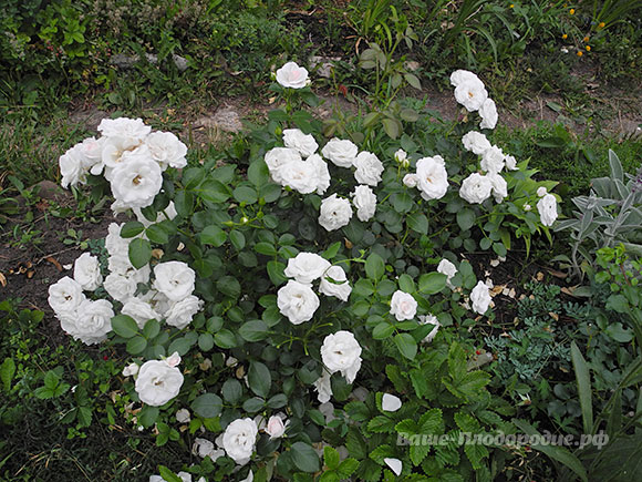 Aspirin Rose (питомник Тантау, Германия)
