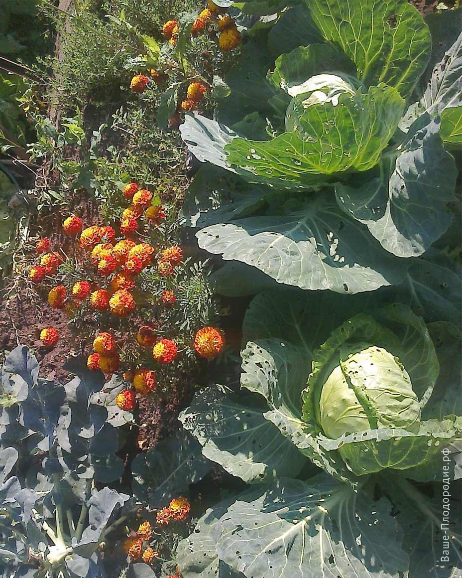 Соседки бабульки ходили смотреть мои грядки с капустой, баклажанами, на которых рядом были шикарные бархатцы, календула
