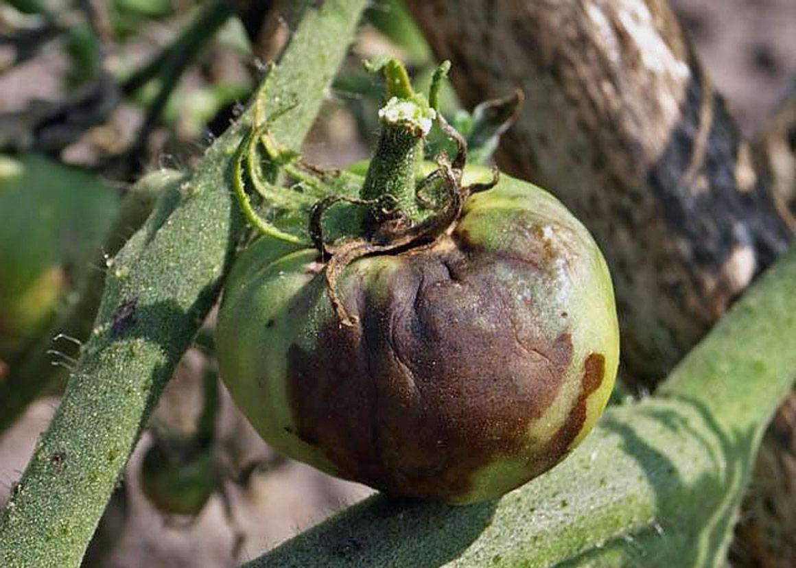Фитофтора на томатах фитофтороз. Фитофтора на помидорах. Как бороться. Какие предпринять меры, чтобы не потерять урожай.