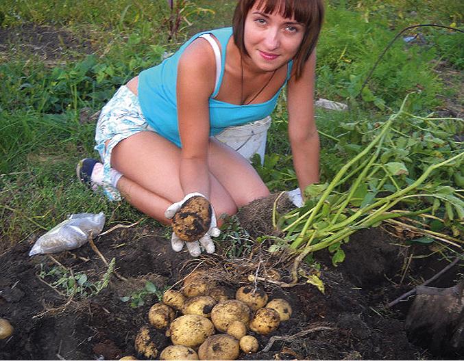 Картофель — основной овощ как