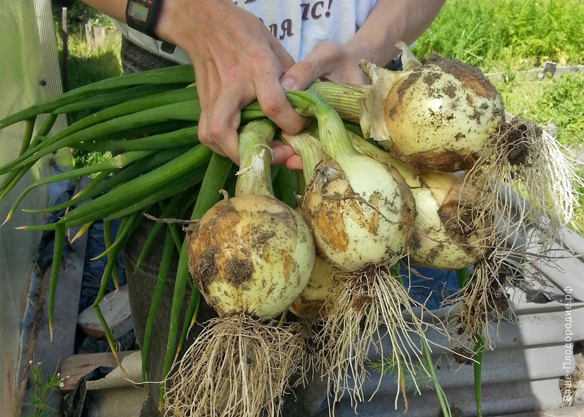 После уборки урожая сейте на грядке сидераты